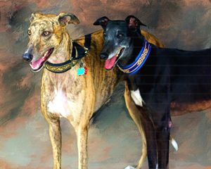 Rescued GreyHounds