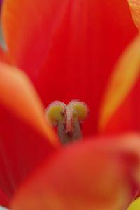 Tulips 9