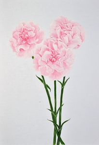 Carnations of Love