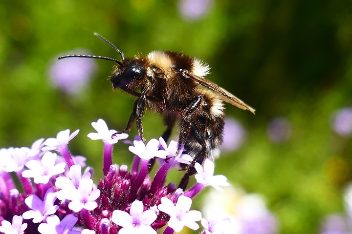 New Zealand Bumble Bee - Bee In Nature