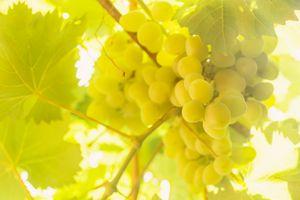 Brush white ripe grapes hanging in t
