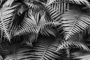Beautyful young ferns leaves bw foli