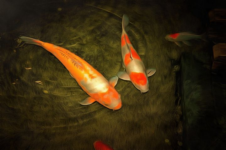Pair of orange and red koi fish - Chandra