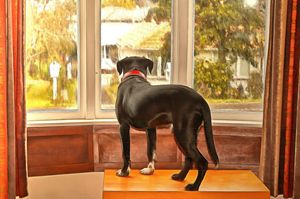 Dog looking out of the window - Chandra