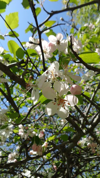 Blossom Beauty - MHolladay