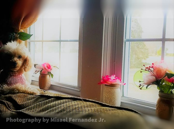 Poodle in pink by the window - Photography by: Misael Fernandez Jr.