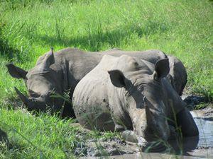 White Rhinos - busang4321