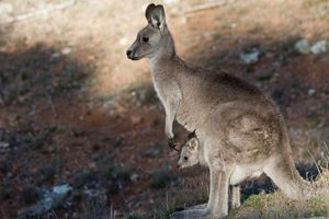 Kangaroo and Joey, Canberra, Austral