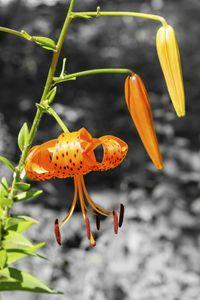 Turks Head Lily