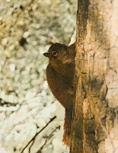 Winter Squirrel