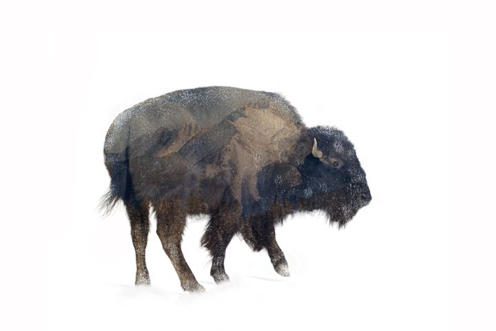 Where the Buffalo Roam - Nicole Ashly