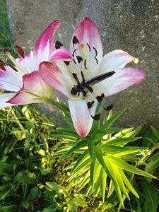 Dragonfly lily