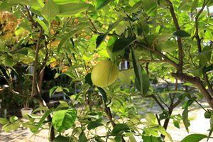 Lemon garden - Photography from Bulgaria