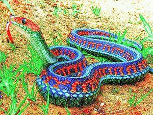 The san francisco garter snake