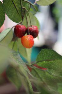 Three Cherry