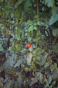 Lone Tomato