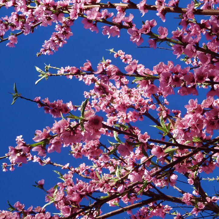 Peach tree #1 - Roberto Silva