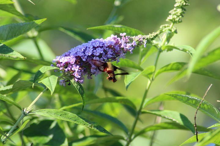 Hummingbird Moth - Annise Cibrian Photography
