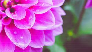 Dahlia After the Rain