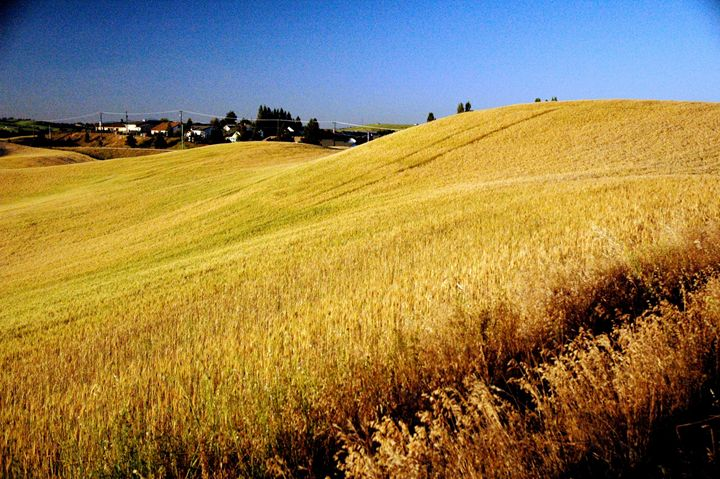 Rolling Wheat - David K. McMillin