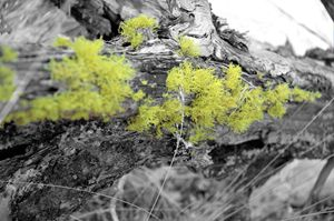 Lichen that log