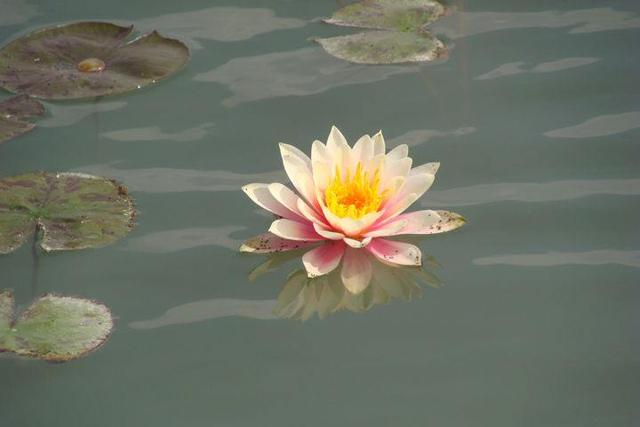 water lilly - Rhoegue Gallery