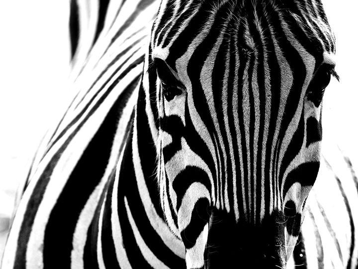 Zebra - Leandro Guardado