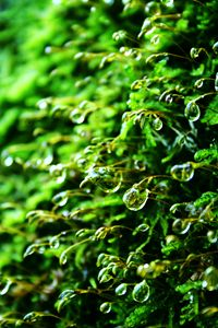 Water Droplets On Moss