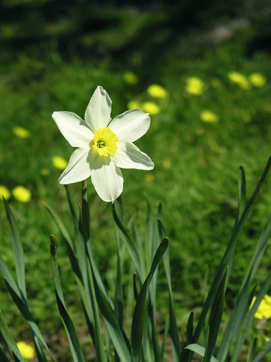 Daffodil - Avril Joy