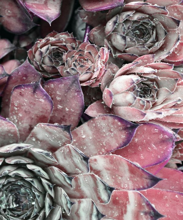 Succulent Close-up In Pink - ARTbyJWP