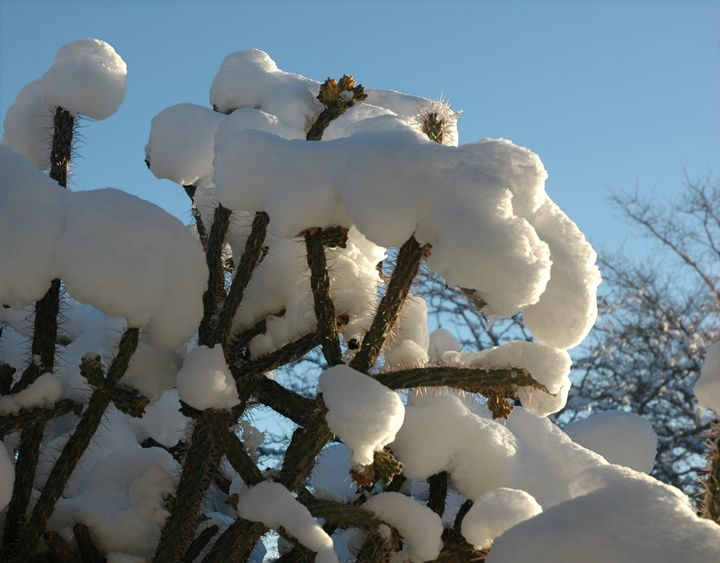 a weather rarity snow on cactus - Unseen Gallery Prints