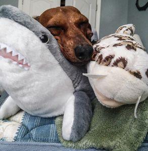 Shark Snuggles