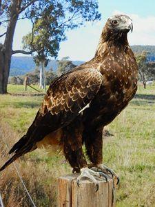 Wedge Tail Eagle - samararose photography