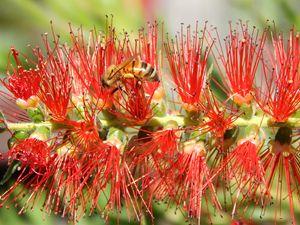 bee on a bottlebrush