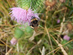 Bumble Bee - samararose photography