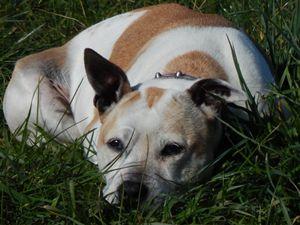 staffie bull terrier
