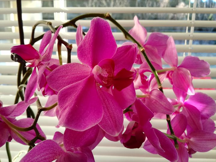 Pink orchids - Danciatko
