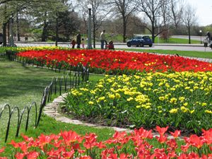 Beds of Tulips at Dow's Lake, Ottawa