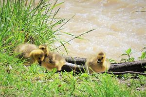 Goslings by the Humber River