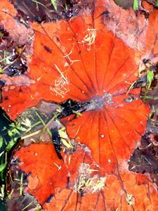 Lotus leaves of impermanence