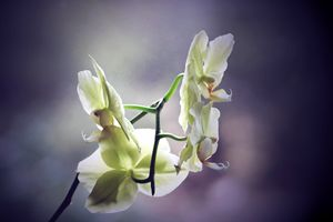 Her last orchid
