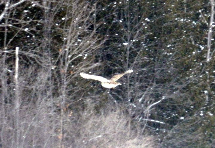Barred Owl in Flight - Rachel's Photos & Drawings