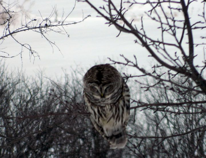 Barred Owl - Rachel's Photos & Drawings
