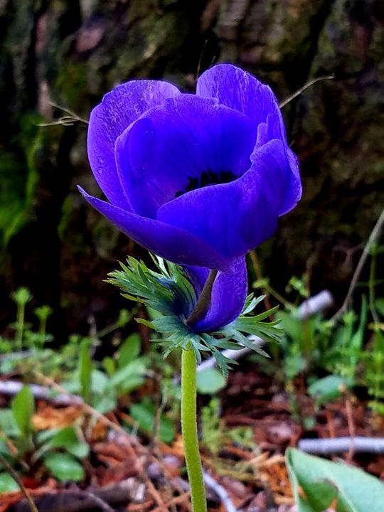 Purple Poppy - J. Scott Hayden