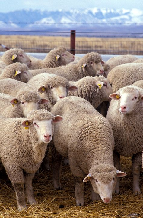 Sheep - My Evil Twin