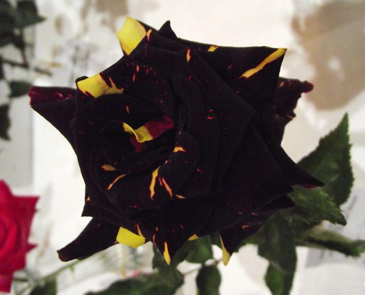 A Black Rose - My Evil Twin