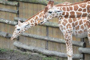 Giraffes - Mats Vederhus