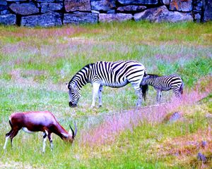 Blesbuck and zebras - Mats Vederhus