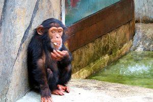 Baby chimp eating - Mats Vederhus