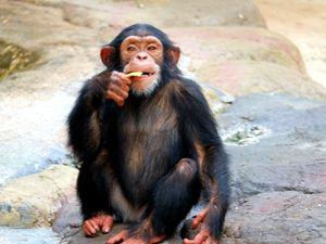Eating chimp - Mats Vederhus